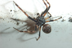 Wilbur Thrives (Procrustes2007) Tags: uk england male spider suffolk britain wildlife arachnid flash nikond50 sudbury closeuplens wildlifephotography nucteneaumbratica walnutorbweaver d50nocturnal afsnikkor1855eddx gridreftl883407