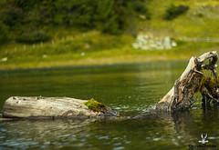 ToterBaum (CoyoteFotos) Tags: wood water trekking austria sterreich wasser hiking berge alpen bergsee holz tot wandern rauris wasseroberflche hochalm rauristal