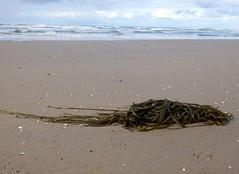 Seaweed019 (Quetzalcoatl002) Tags: life seaweed beach strand coast seaside scheveningen sealife vegetation attractiveness zeewier