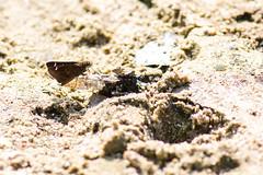 Clouded skipper (cricketsblog) Tags: lepidoptera animalia arthropoda insecta hesperiidae hexapoda pterygota pyrginae hesperioidea cloudedskipper taxonomy:class=insecta taxonomy:order=lepidoptera taxonomy:kingdom=animalia taxonomy:family=hesperiidae taxonomy:phylum=arthropoda taxonomy:subclass=pterygota tagiades taxonomy:subphylum=hexapoda taxonomy:subfamily=pyrginae tagiadesflesus cloudedflat cloudedforester taxonomy:superfamily=hesperioidea taxonomy:species=flesus taxonomy:genus=tagiades tagiadini taxonomy:common=cloudedskipper taxonomy:tribe=tagiadini taxonomy:binomial=tagiadesflesus taxonomy:common=cloudedforester taxonomy:common=cloudedflat melissamcmasters