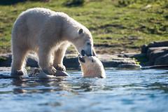 BLIJDORP20151001_©arievantilborg-9547 (Arie van Tilborg) Tags: blijdorp polarbear ijsbeer rotterdamzoo ijsberen arievantilborg