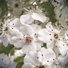 White Blossom Flowers - Forrest - ACT - Australia - 20150926 @ 05:46 (MomentsForZen) Tags: pink flowers white flower tree square petals spring blossom style stamen filament prunus iphone anther bigphoto 645pro pixlr photoshopexpress exifeditor iphoneography iphone6 snapseed
