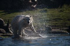 BLIJDORP20151001_©arievantilborg-9502 (Arie van Tilborg) Tags: blijdorp polarbear ijsbeer rotterdamzoo ijsberen arievantilborg