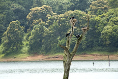 "En el árbol (_Galle_) Tags: republica park lake bird birds miguel angel cormorants lago photography photo asia republic foto photos south kerala pájaros national fotos sur fotografia galle hindu hinduism fotógrafo hindi thekkady pájaro periyar fotografía photograper cormoranes cormoran gallego inidia भारत periyarnationalpark hindou republicofindia phalacrocoracidae hindú ""republic hinduismo भारतगणराज्य गणराज्य gaṇarājya cheral pájaritos bhārat bhāratgaṇarājya miguelagallego miguelgallego miguelangelgallego repíblicadelaindia cheralam"