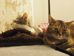 P5150006 (Raccoon Photo) Tags: cats cute sisters funny catsisters sissies adoptacat