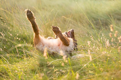 The joys of life (artvaleri) Tags: ireland germanshepherd thelittledoglaughed wwwnuaphotographycom littledoglaughedstories rollinginthemeadow