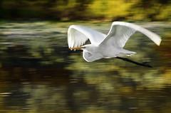 Egret (dbullens) Tags: nature birds florida flight panning egret tavernier bigmomma dbullens