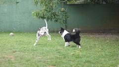 DSC02833 (agorayebm) Tags: dog bordercollie dalmatian crick dlmata