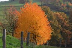 Es steht ein Baum in Feuer (ivlys) Tags: autumn tree nature germany landscape deutschland hessen herbst landschaft baum fiery odenwald wildcherrytree feurig wildkirsche ivlys