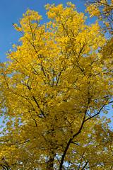 Fall in Berlin (Francesco Moccia) Tags: tree berlin fall leaves yellow francesco charlottenburg moccia