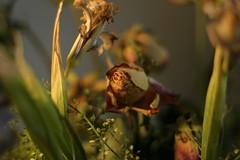 Fading (Rach_3) Tags: flowers flower closeup canon300d