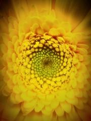 Dreaming in Yellow (Scorpiol13) Tags: life flower beauty yellow flow petals pod pattern transformation grow center seeds change pollen ephemeral renewal circleoflife starshape shapesinnature patternsinnature stagesofgrowth