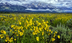 Summer Field in Jackson Hole (Jeff Clow) Tags: travel wild summer usa mountains tourism beauty western wildflowers tetons grandtetonnationalpark jacksonholewyoming