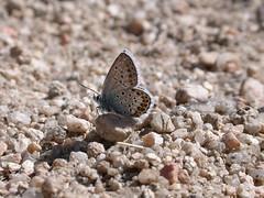 DSCN6899 (Clive Webber) Tags: lycaenidae plebejusargus silverstuddedblue