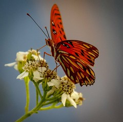 Gulf Fritillary (Passion Butterfly) (DavidGuscottPhotography) Tags: orange macro passion gulffritillary