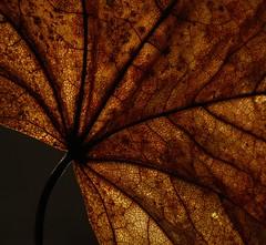 Leaf colours (tonibjrkman) Tags: autumn macro suomi finland nikon 2015 kuvio vrit