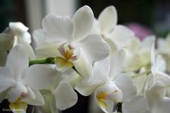 Orchidee ( Annieta ) Tags: november white plant flower macro netherlands fleur sony nederland orchidee wit allrightsreserved bloem 2015 annieta a6000 usingthispicturewithoutpermissionisillegal