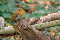 Robin (Explored #382 5/12/15) (John Ambler) Tags: nature robin john photographer erithacus wildlife reserve photographs mead ambler 382 rubecula alverstone explored 51215 johnambler