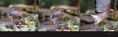 Eichelhher, Garrulus glandarius (Weinstckle) Tags: flug walnuss abflug garrulusglandarius rabenvogel eichelhher hher