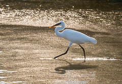 stepping out :  explored (gilliesavo. Catching up :)) Tags: egret sand golden agonda beauty birthday happy sparkly shadow reflection bird nature special