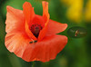 Baden bei Wien Umgebung (arjuna_zbycho) Tags: mak maki makpolny czerwonemaki kwiatypolne mohn mohnblumen coquelicots pavots popyflower popy klatschmohn papaverrhoeas mohnblume klatschrose cornpoppy cornrose fieldpoppy flanderspoppy redpoppy redweed közönségespipacs vetésipipacs papaverocomune rosolaccio gatunekleczniczy heilpflanze hausmittel kwiat blume flower fleur popies fleurs natur flora insekt