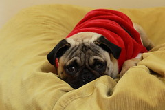 Esperando a Santa claus-Waiting fot Santa Claus (Carlos Alberto Peña Yañez) Tags: pug perritos navidad mascotas interior home house pugs critsmas claus funny cute dogs doggie carlinos pets