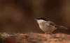 Cincia bigia (AIIex) Tags: nikon d7100 tamron 70300 darktable opensource bird wood bosco animal uccello cincia wildlife