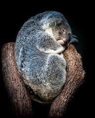 Koala Nap (jderden77) Tags: koala animal animals mammal tree nature wildlife zoo sydney tarongazoo derden