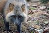 They Climb Trees! (MTSOfan) Tags: grayfox lvz fox omnivore