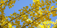 6586Fall09 (Robin Constable Hanson) Tags: blue yellow autumn ceiling fall ginkgo leaves overhead sky up