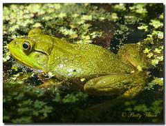 Frog (Betty Vlasiu) Tags: frog animal nature wildlife