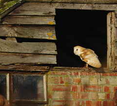 Barn Owl (EddieFinnis) Tags: lakenheath england britain reedbed reed gaze look lol stare opening hut fenland fen suffolk wildlife nature wild animal llens 7d canon hunting hunter breakfast hungry prey predator ghostly ghost barn owl bird sun morning white