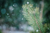 (jakub.sulima) Tags: nikon d7000 nikkor 85mm natur nature naturaleza flora flores serene wild wildlife tree pine snow winter wonderland fall colours calm bokeh bokehlicious green white brown outdoor outside closeup dof depthoffield forest woods