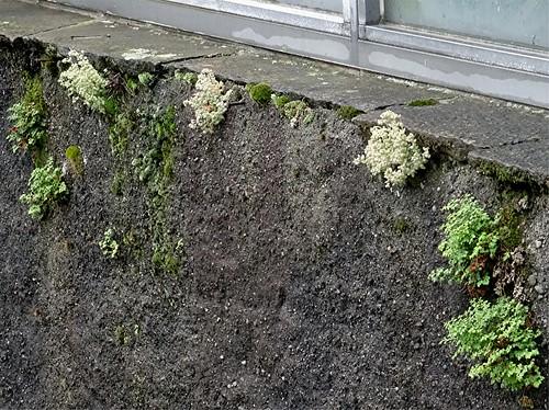 Buckel-Fetthenne, Sedum dasyphyllum an Hafenmauer, NGIDn347106436