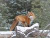 Red Fox (Islander_16) Tags: fox redfox wild wildlife nature naturephotography wildlifephotography outdoorphotography outdoor naturelover animal