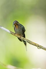 Green Hermit (Phaethornis guy) - Female (Hamilton Images) Tags: greenhermit phaethornisguy hummingbird bird feathers tropicalforest cerroazul kaufmanplace canopytower panama centralamerica canon 7dmarkii 500mm october 2016 img6948