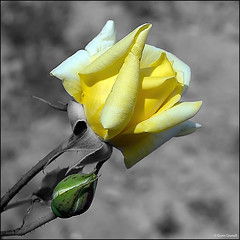 (2439) SPLASH - Rosa (QuimG) Tags: splash retoc retoque retouch flor flower natura nature naturaleza olympus quimg quimgranell joaquimgranell afcastelló specialtouch obresdart macro