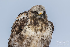 Rough Legged Hawk shakes it off