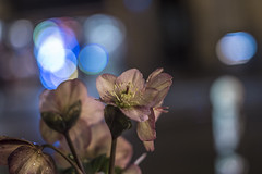 IMG_0767 (::Lens a Lot::) Tags: paris 2017 flower plant weed close up closeup bokeh depth field light night color flare vintage manual german fixed length prime lens west germany profondeur de champ effet nature flou extérieur wow fleur plante leitz wetzlar summicronr 50 mm f 20 v1 1974 | 6 blades iris leica r f2