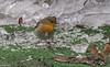 Je vais pouvoir patiner... (Crilion43) Tags: réflex france véreaux divers paysage nature rougegorge jardin centre objectif canon oiseaux tamron 1200d cher bleue brouillard charbonnière herbe mésange