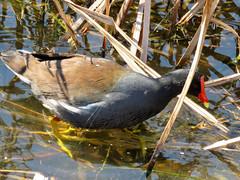 Common Gallinule (South Padre Island BNC) (stinkenroboter) Tags: southpadreislandbirdingandnaturecenter texas commongallinule gallinulagaleata bird
