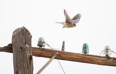 American Kestral (T_Bunk) Tags: americankestral bird colorado fremontcounty tunneldrive bif
