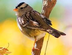 White-Crowned Sparrow (Zonotrichia leucophrys). (troupial) Tags: whitecrownedsparrow sparrow arizonawinteringmigrantbirds pimacountyarizona sparrows
