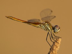 Sympetrum fonscolombii ♂ (fturmog) Tags: fauna odonats odonátos odonata libélulas libèl·lules dragonflies montoliudelleida