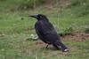 Black currawong (Byron Taylor) Tags: echidna blackcurrawong currawong levonscanyon canyon canon canon7d wildlife nature australia australiasia tasmania mammals