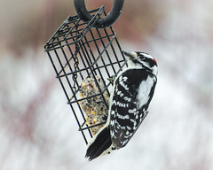 Downy Woodpecker - male (hickamorehackamore) Tags: 2017 ct connecticut downywoodpecker haddam nwf backyard certified habitat male suet suetfeeder wildlife winter woodpecker