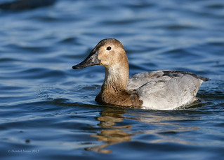 Canvasback (Explored#10)