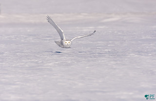 ''Prédateur à l'horizon!'' harfang des neiges- Snowy owl