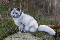 Artic fox (Gjesdal.org (away on vacation)) Tags: vulpeslagopus arcticfox sigma150500mmf563apodgoshsm nikon dyrepark zoo d810 dyreparkenikristiansand fjellrev kristiansand vestagder norway no