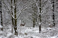 IMGP5512 (Henk de Regt) Tags: bos sneeuw natuur bomen riet landschap oerbos nederlandsenatuur beekbergerwoud klarenbeek veluwe forest snow nature trees reeds landscape virginforest dutchnature
